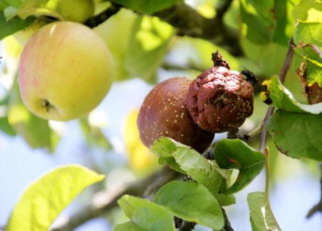 Apfelbaum Krankheiten
