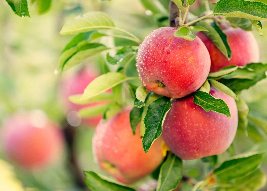 Apfelsorten im Überblick: Äpfel hängen an Apfeöbaum