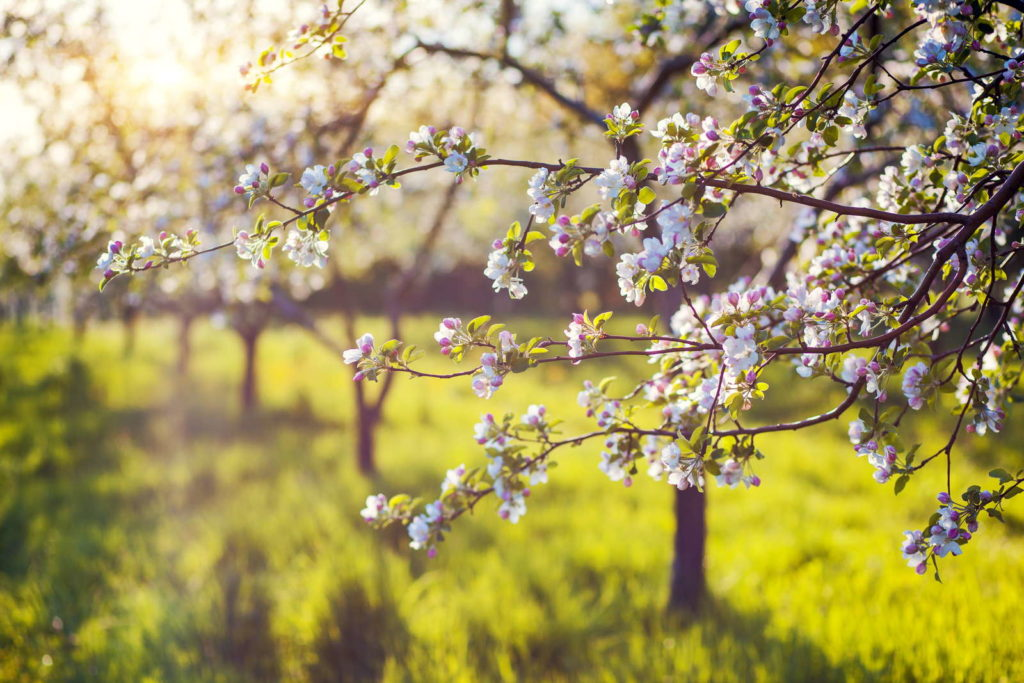 blühender Apfelbaum im Sommer auf Feld