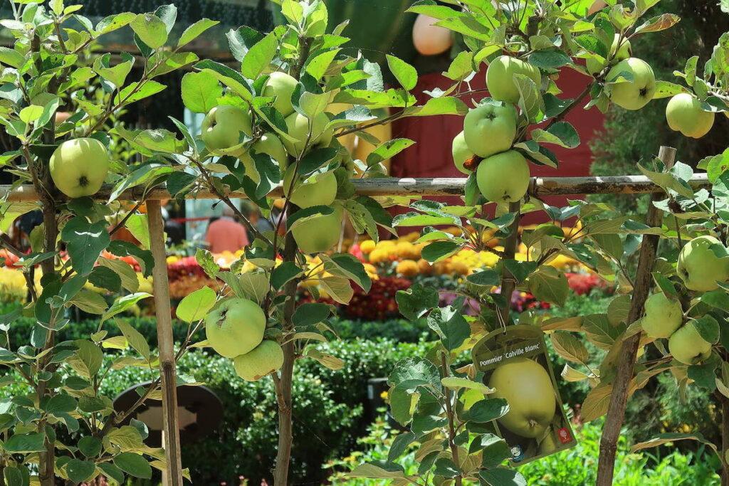 Apfelbaum als Spalier
