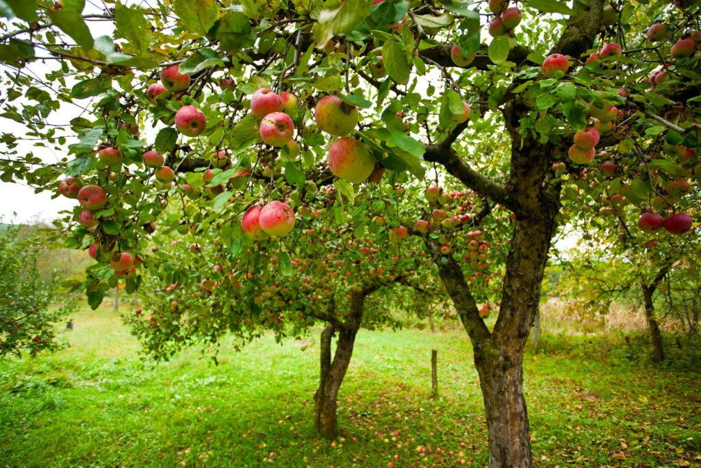 Viele Apfelbäume im Garten