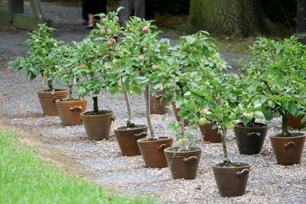 Kauf eines Apfelbaums: kleine Apfelbäume im Topf in einer Reihe