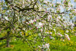 Blühender Apfelbaum Auf Wiese
