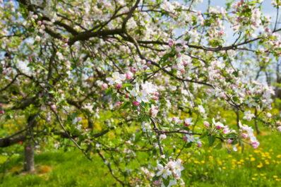 Apfelbaumblüte: Keine Blüte oder Frostschäden