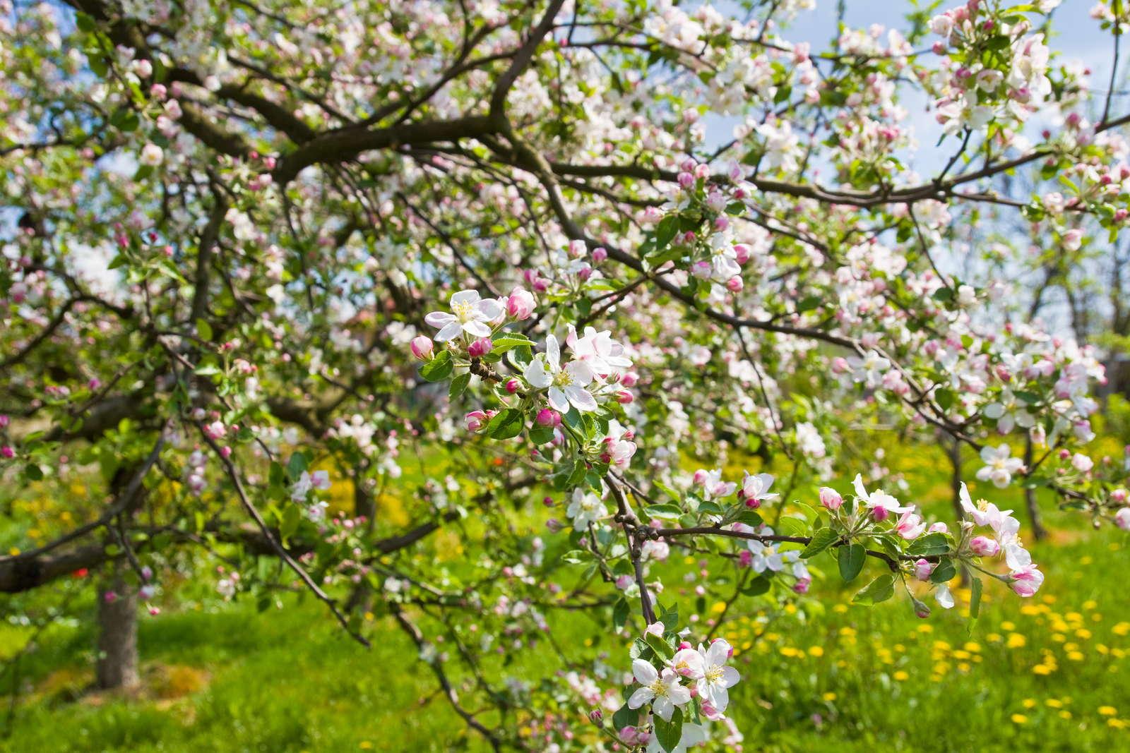 Apfelbäumchen Pflanzen