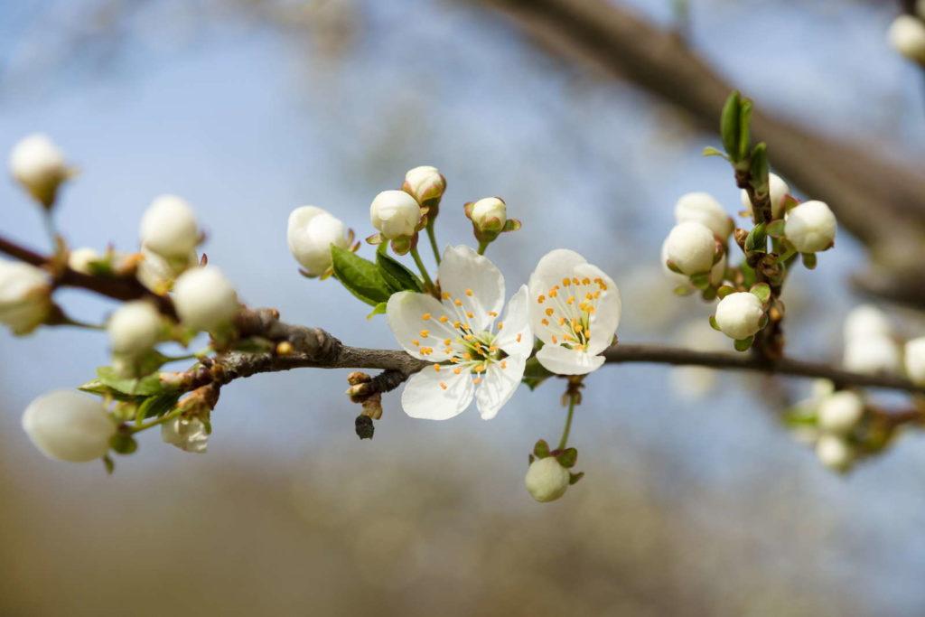 Apfelblüte vor Frost schützen