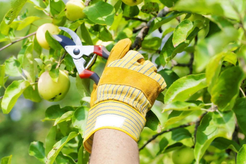 Mensch schneidet Apfelbaum mit Schere zu