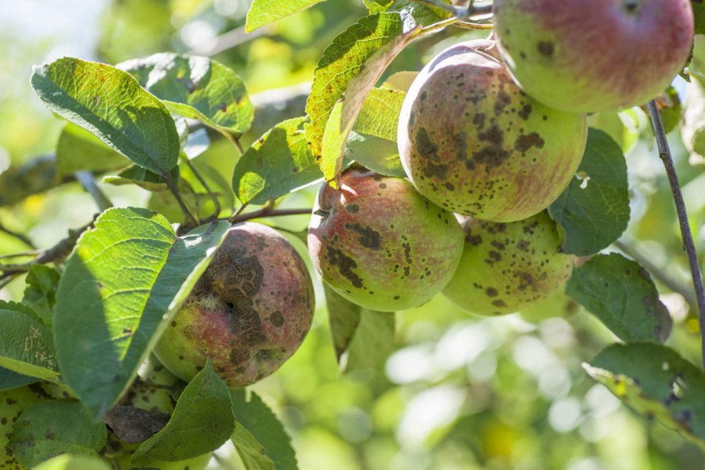 Apfelschorf an hängenden Äpfeln
