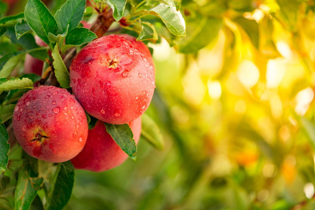 Reife der Äpfel