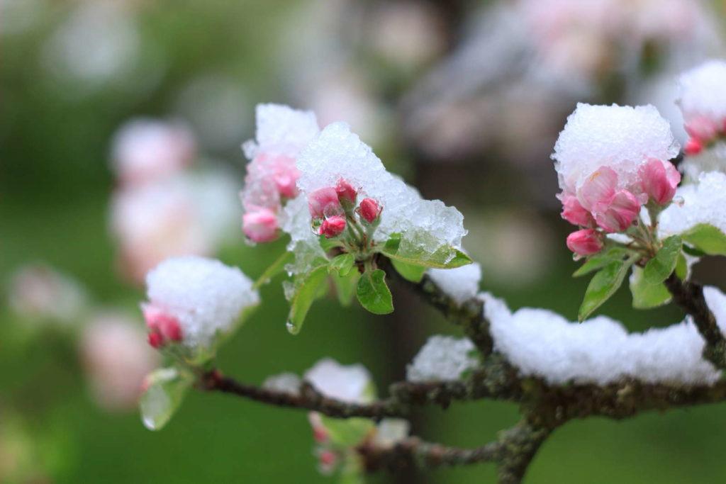 Frost auf austreibenden Apfelbaum mit Blütenknospen