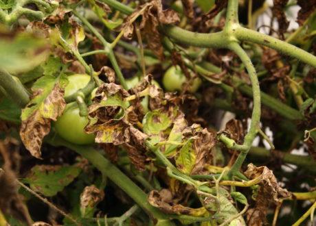 Fusarium: Den Hochgiftigen Pflanzenschädling Erkennen & Bekämpfen
