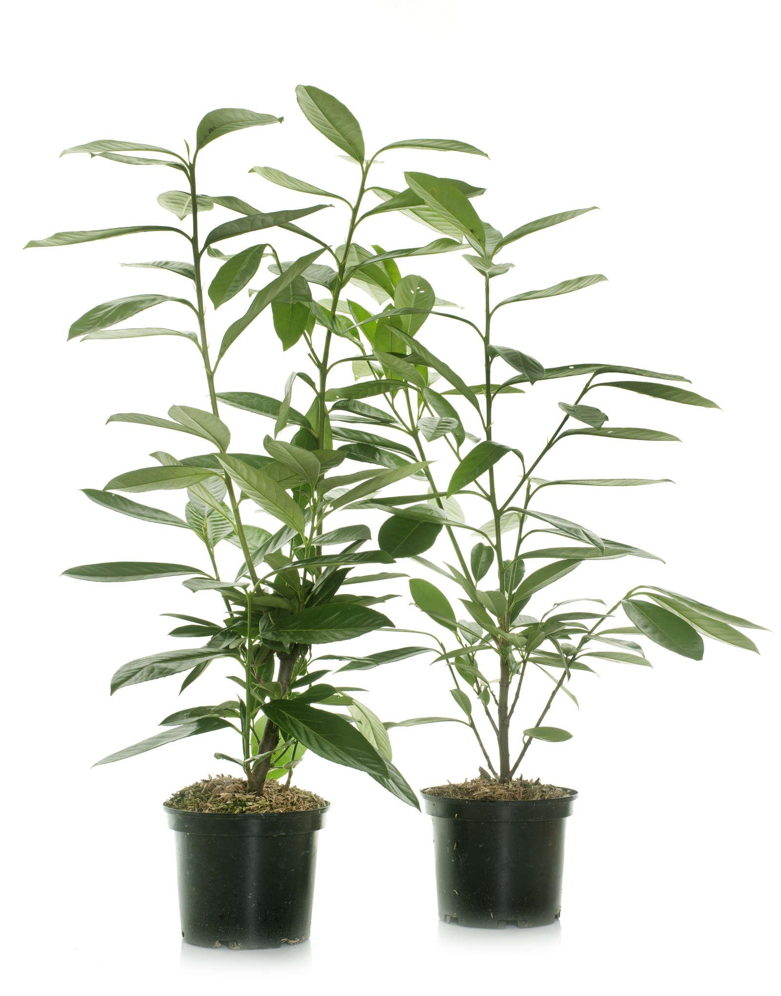 Berühmt Kirschlorbeer vermehren: Tipps & Anleitung vom Profi - Plantura #ES_45