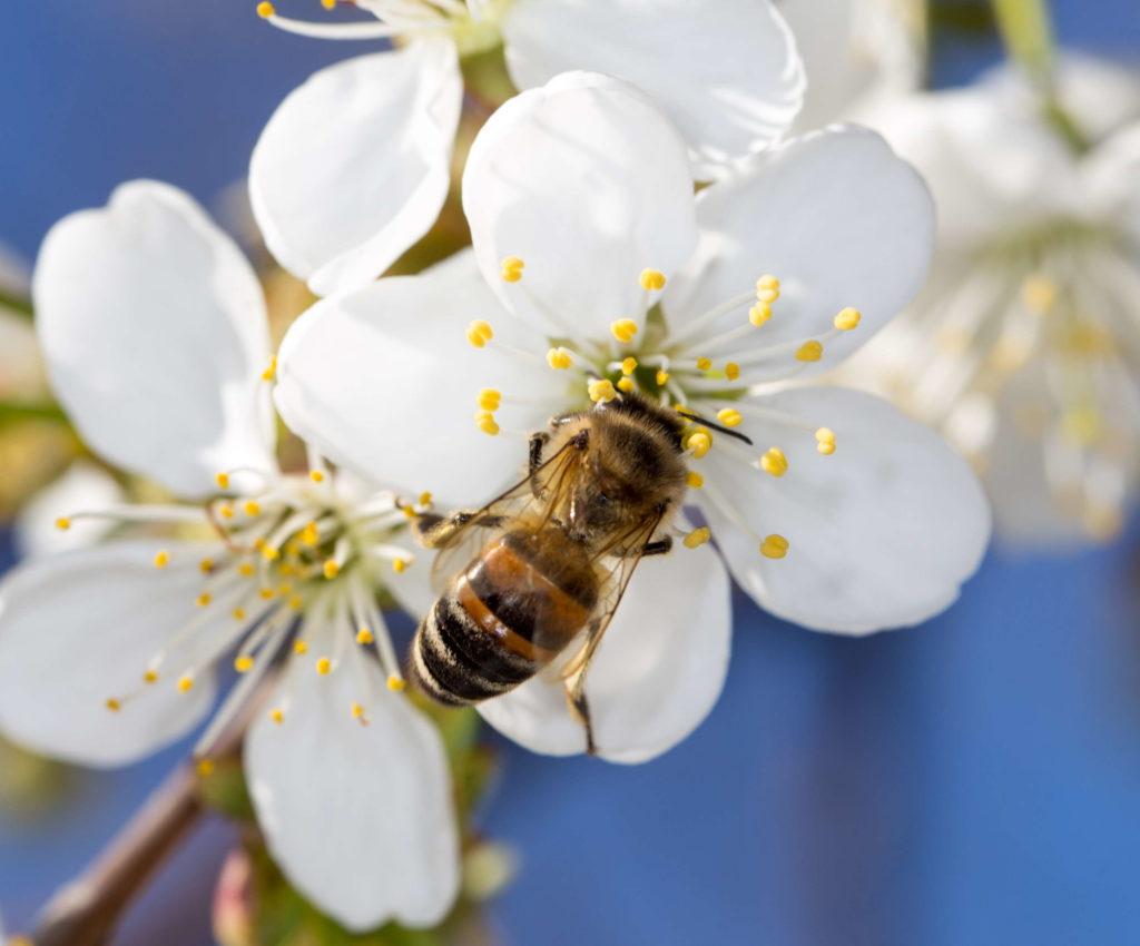 Biene sitzt auf Apfelbaumblüte