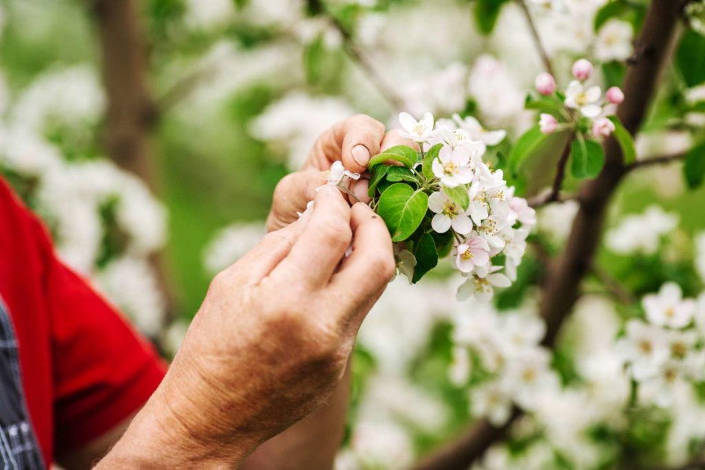 Bereits blühender Apfelbaum wird ausgedüngt