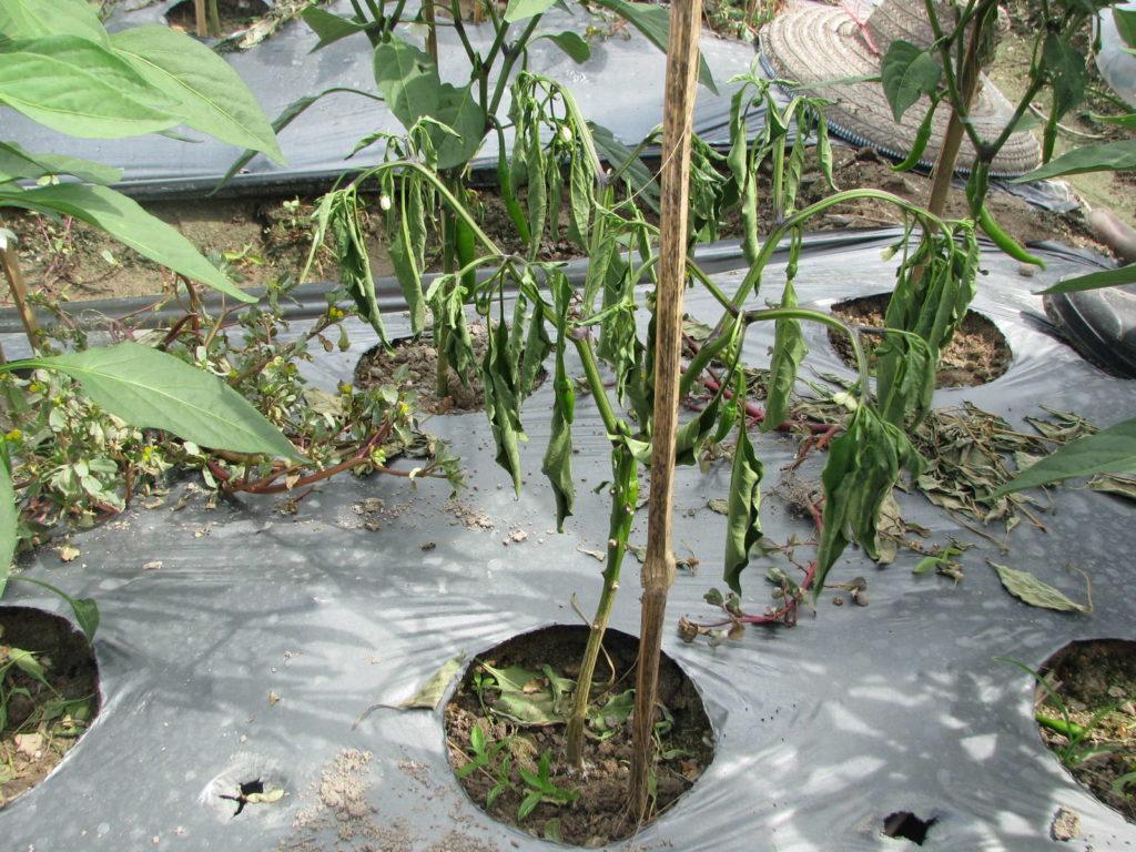 Fusariumsbefall an Paprikapflanze