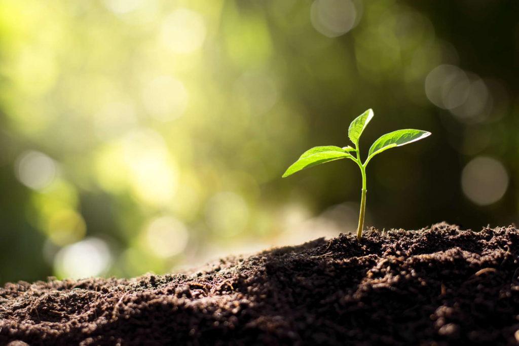 Sämling in der Erde eingepflanzt