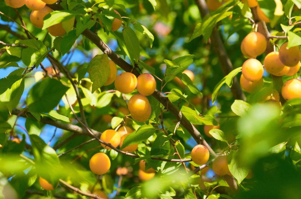 Ontariopflaumenbaum trägt viele Früchte