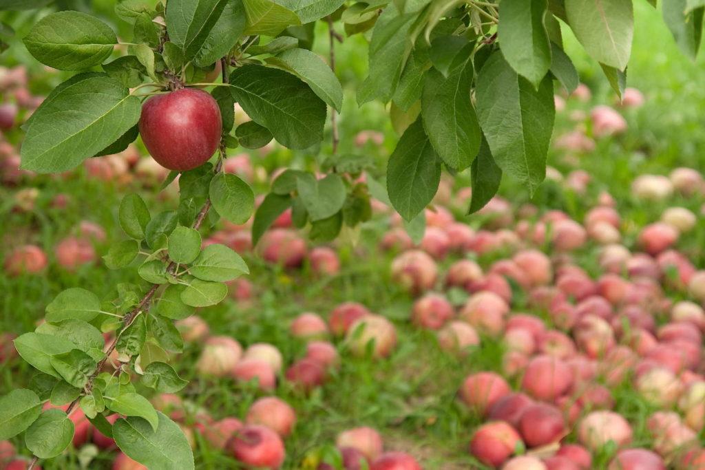 Druckstellen auf Äpfeln bei Lagerung