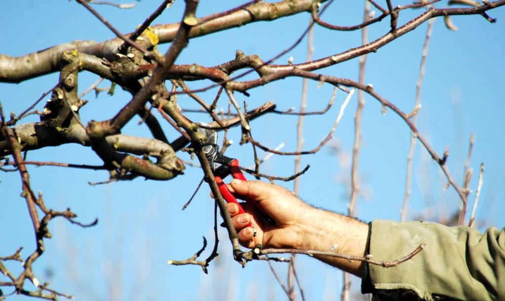 Apfelbaum wird im Winter zurückgeschnitte