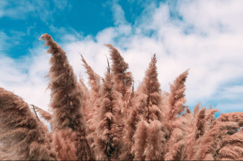 Pampasgraspflanze zuschneiden