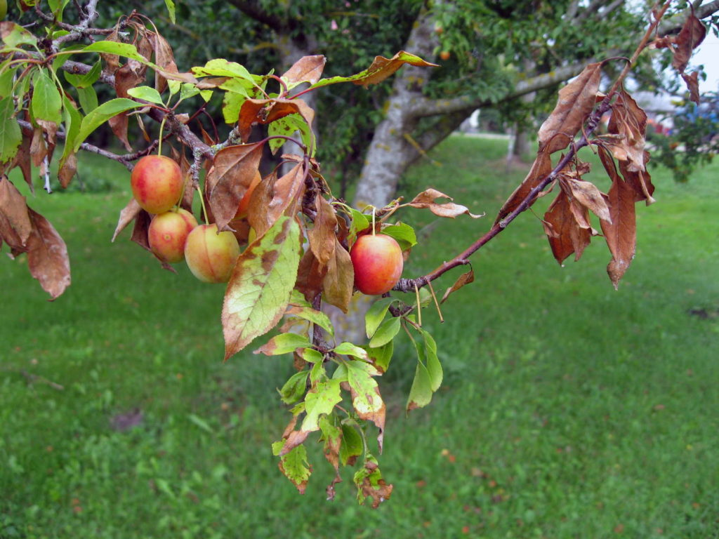 Feuerbrand am Apfelbaum
