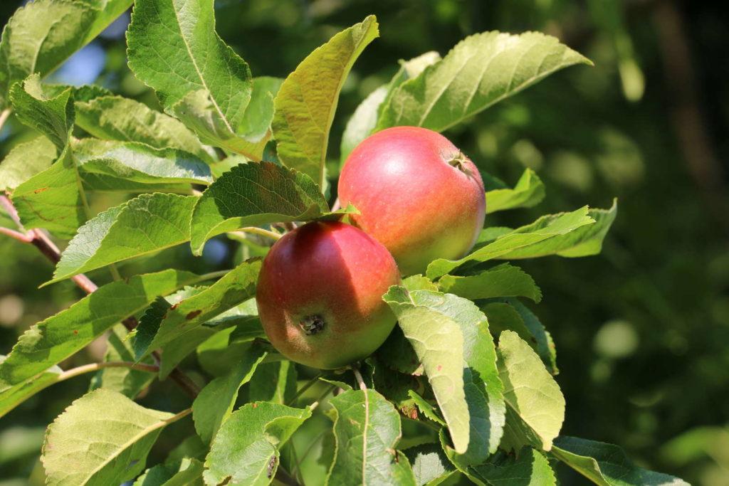 2 Äpfel der Frühsorte Discovery am Apfelbaum