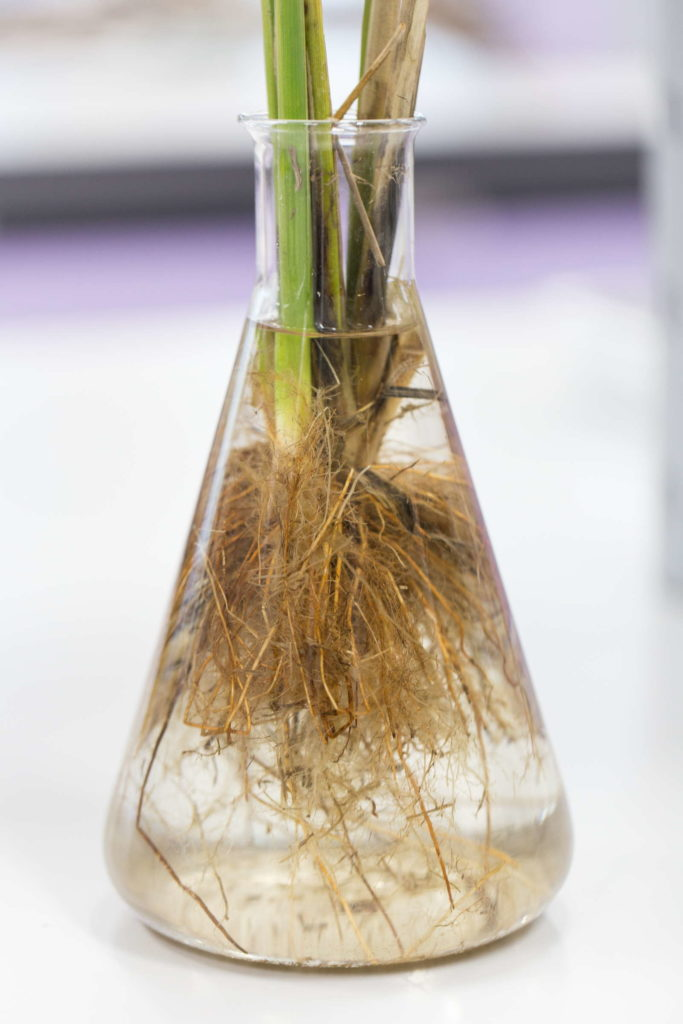 Kirschlorbeer im Wasser vermehren in Vase