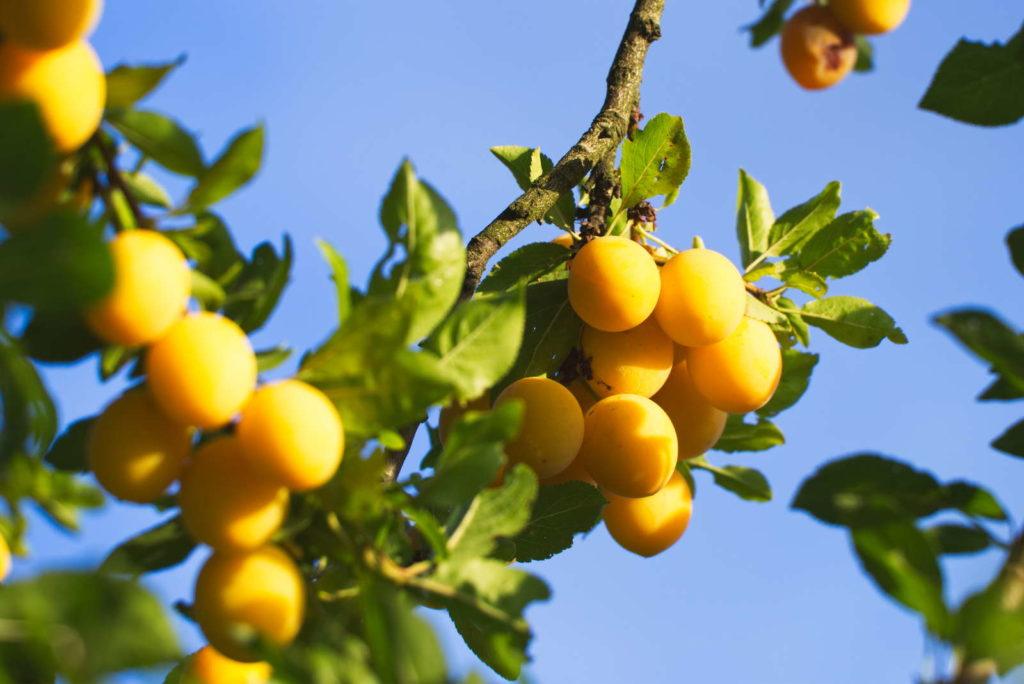 Mirabellenbaum trägt viele gelbe Früchte