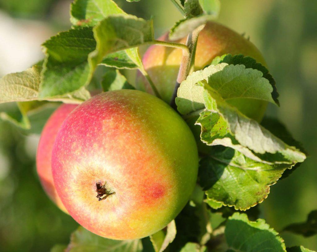 Apfelbaumsorte Rote Alkemene