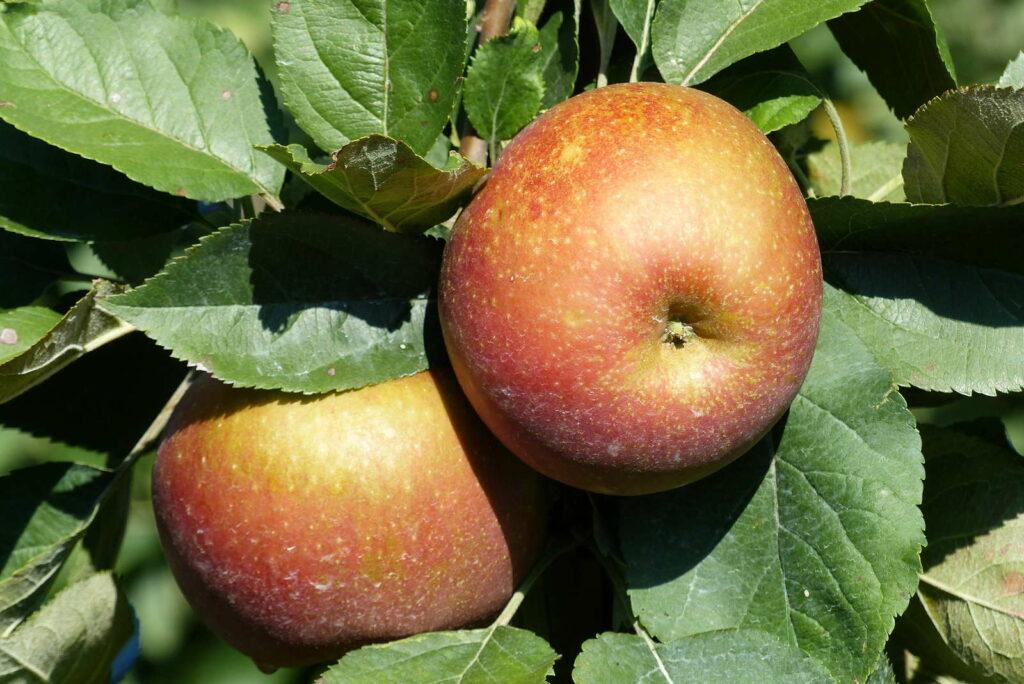 Apfelsorten: 2 Äpfel der Sorte Roter Boskoop