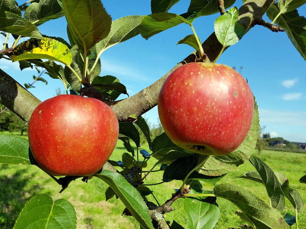 Traditionelle Apfelsorte