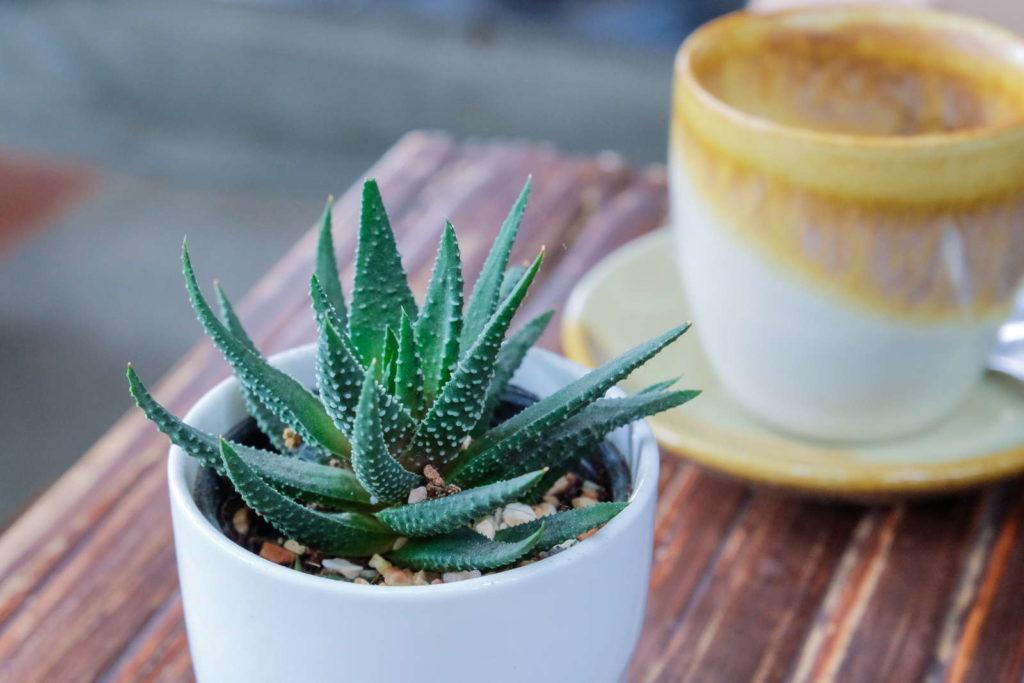 Aloe Vera - Pflanze steht neben einer Kaffeetasse auf dem Tisch