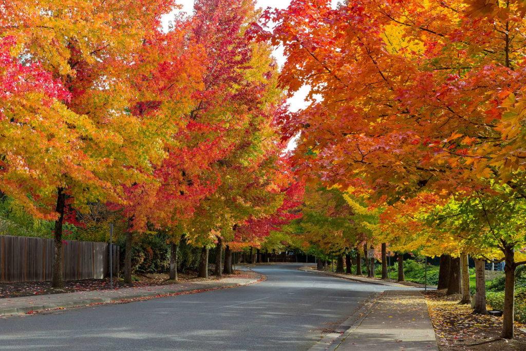 Amberbaum mit bunten Blättern im Herbst
