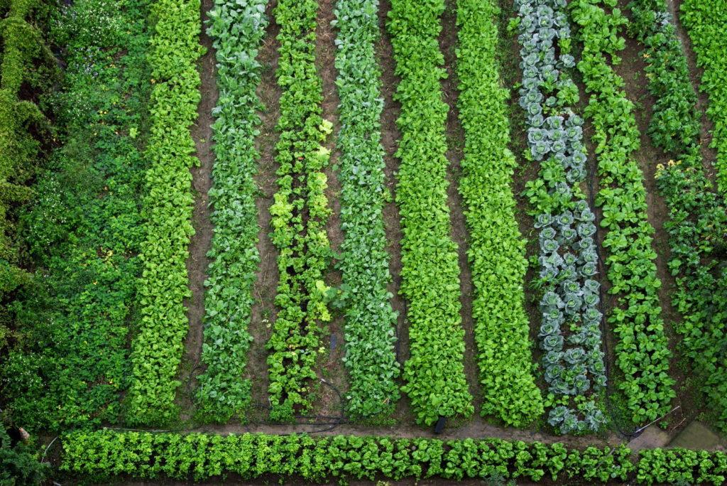 Großes Beet mit verschiedenen Gemüsesorten reihenweise angeordnet