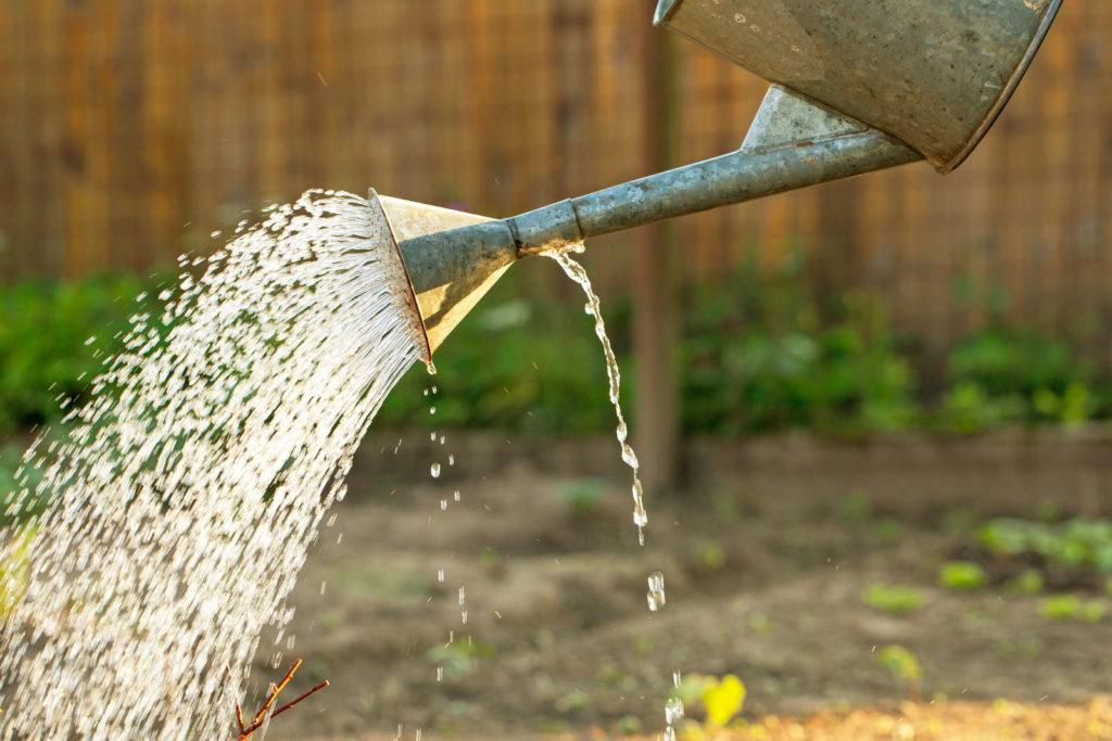 Apfelbaum bewässern mit Gießkann im Garten