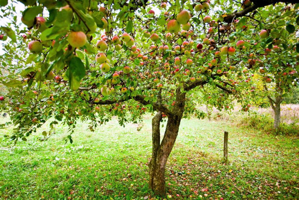 Apfelbaum mit Äpfeln auf Wiese