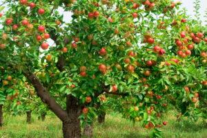 Apfelbaum Voll Mit Äpfeln