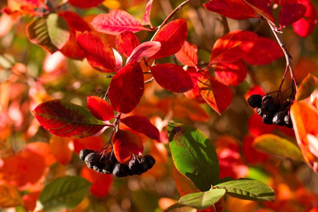 Apfelbeere mit roten Blättern und schwarzen Beeren