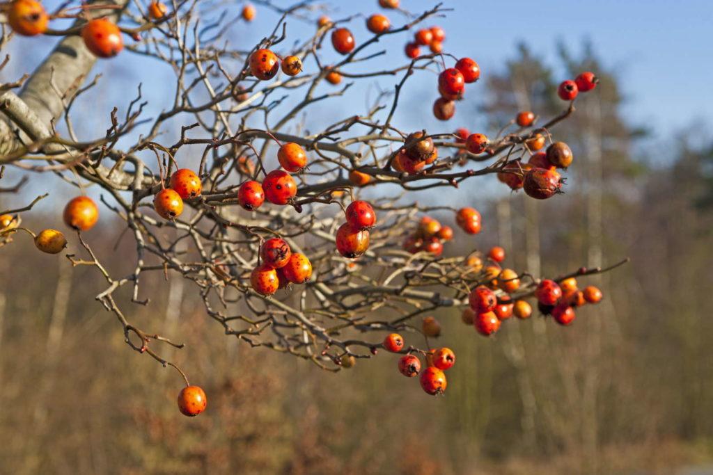 Apfeldorn mit Früchten in orange rot