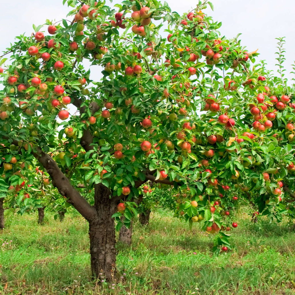 Apflebaum mit Äpfeln auf Wiese