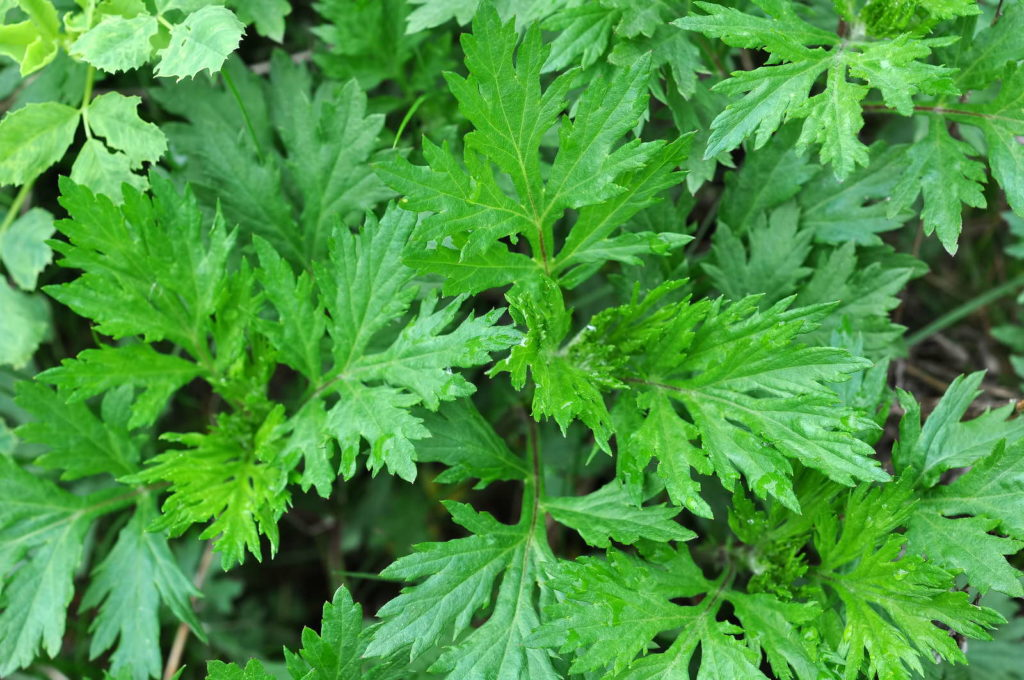 Beifußpflanze