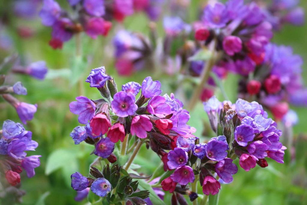 Blühende Beinwellpflanze