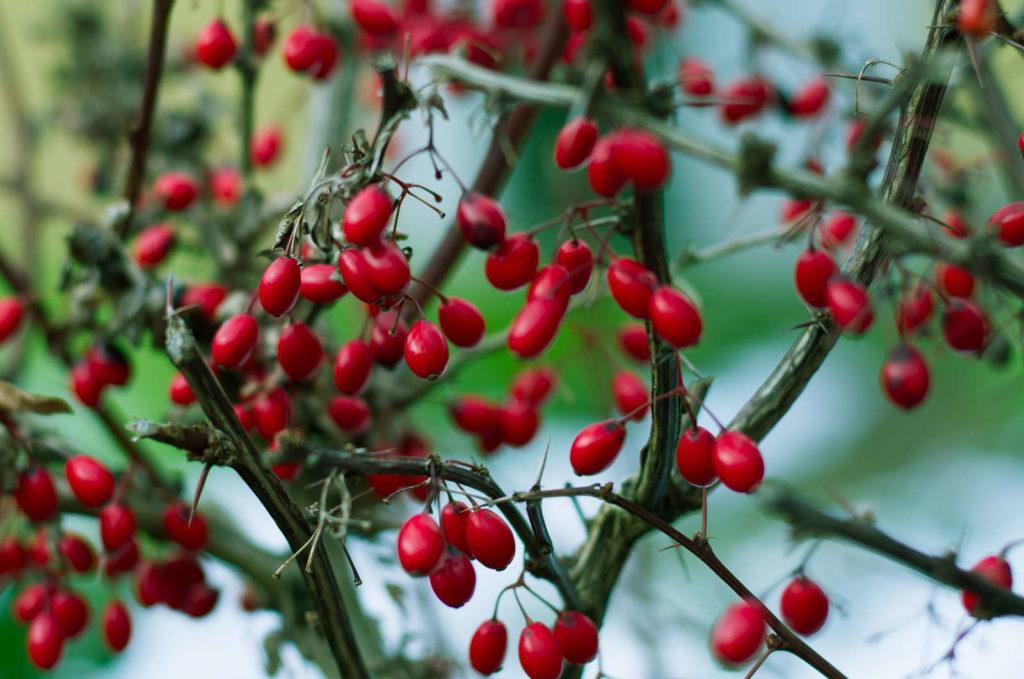 Berberitzenpflanze