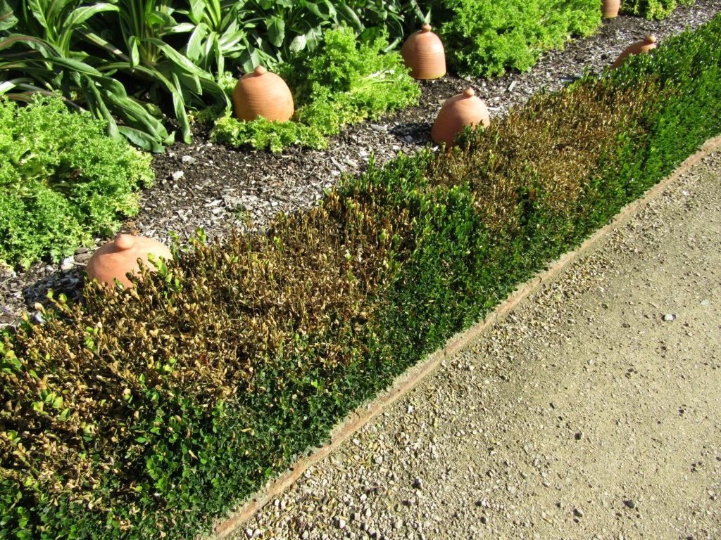 Buchbaumhecke Triebsterben im Garten