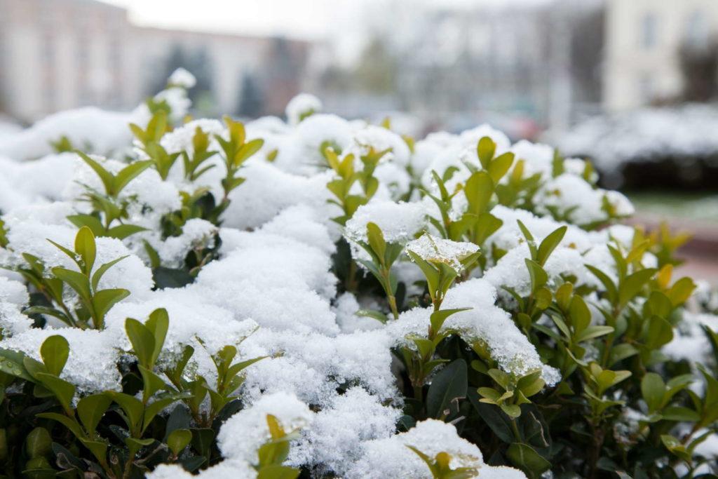 Buchsbaum mit Schnee bedeckt