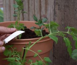 Tomoffel Tomatentrieb Abschneiden