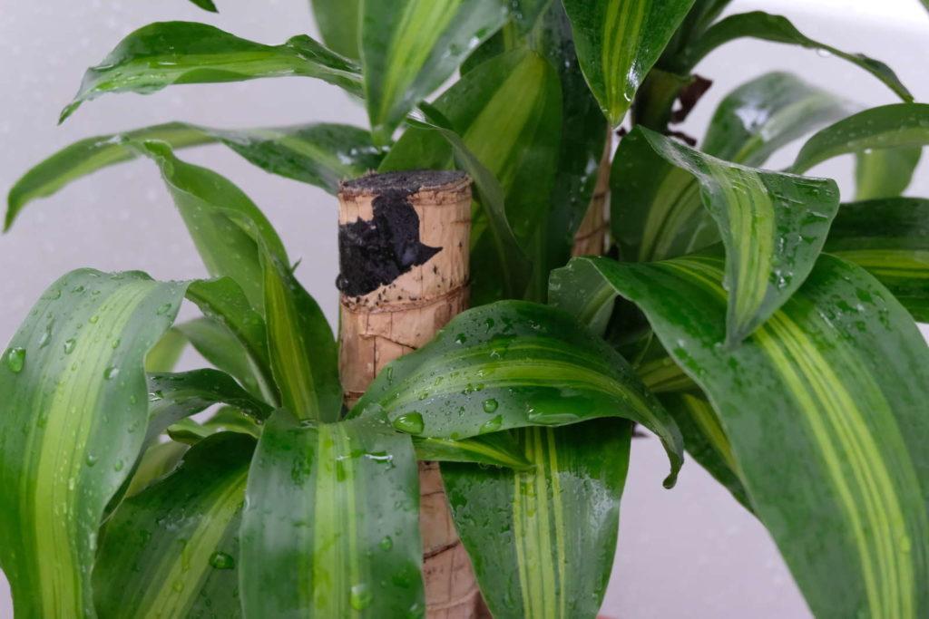 Nahaufnahme Drachenbaum