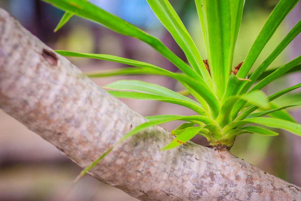 Drauchenbaum Spross auf Ast