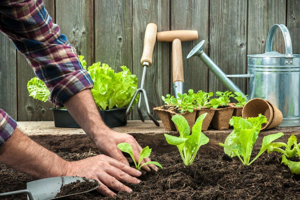 Mann pflanzt Setzlinge ein