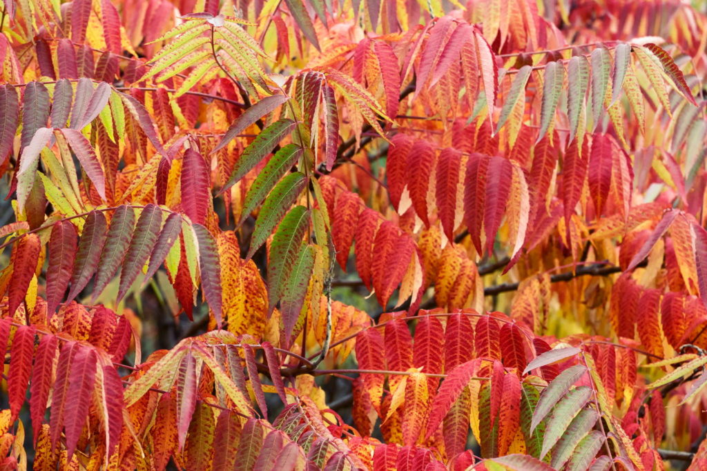 Essigbaum mit orange und roten Blättern